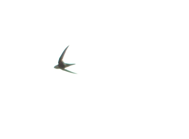 Aeronautes montivagus, White-tipped Swift,  door Matthias Fernandez