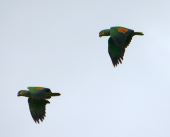 Amazona amazonica, Orange-winged Parrot, Kule kule, Kulekule, Koelekoele door Foek Chin Joe