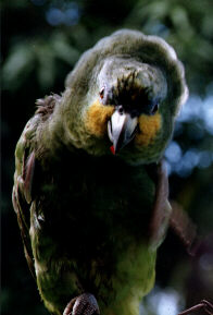 Amazona amazonica, Orange-winged Parrot, Kule kule, Kulekule, Koelekoele door Roberto Plomp