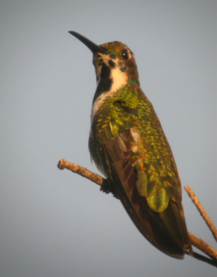 Anthracothorax nigricollis, Black-throated Mango, Korke/Kolibri door Foek Chin Joe
