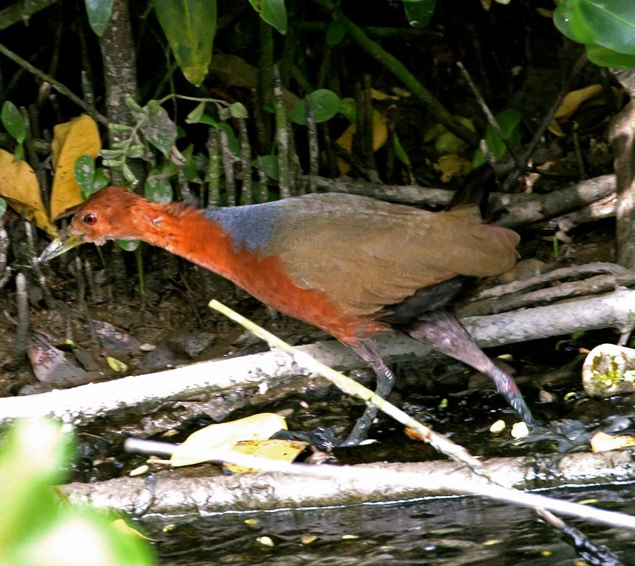 Aramides axillaris, Rufous-necked Wood-Rail,  door Michel Giraud-Audine