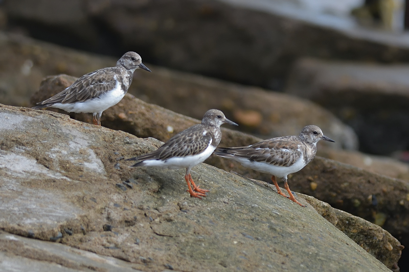 Arenaria interpres, Ruddy Turnstone,  door Bert van den Broek
