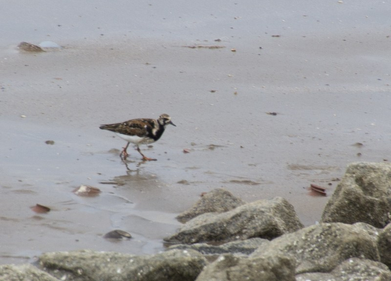 Arenaria interpres, Ruddy Turnstone,  door Harry Valk