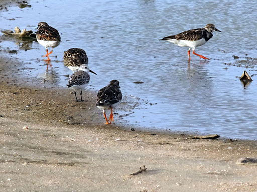 Arenaria interpres, Ruddy Turnstone,  door Hans Majong