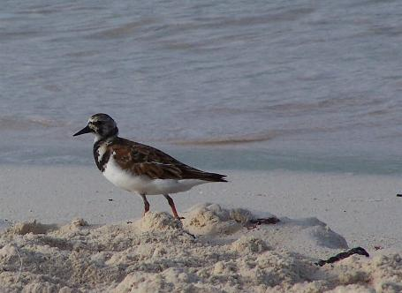 Arenaria interpres, Ruddy Turnstone,  door Jan Hein Ribot