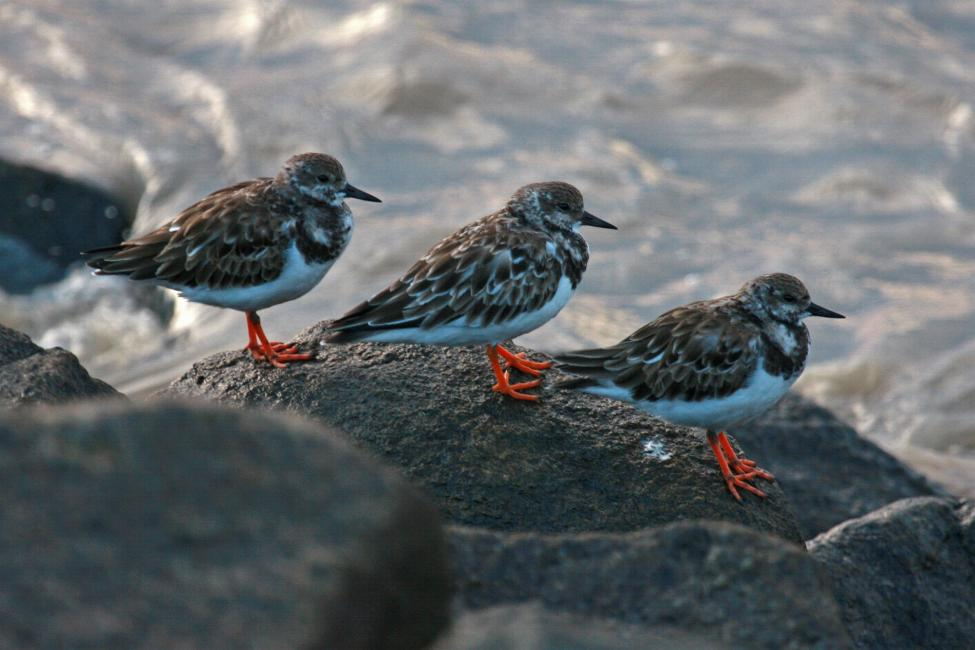 Arenaria interpres, Ruddy Turnstone,  door Tinus Knegt