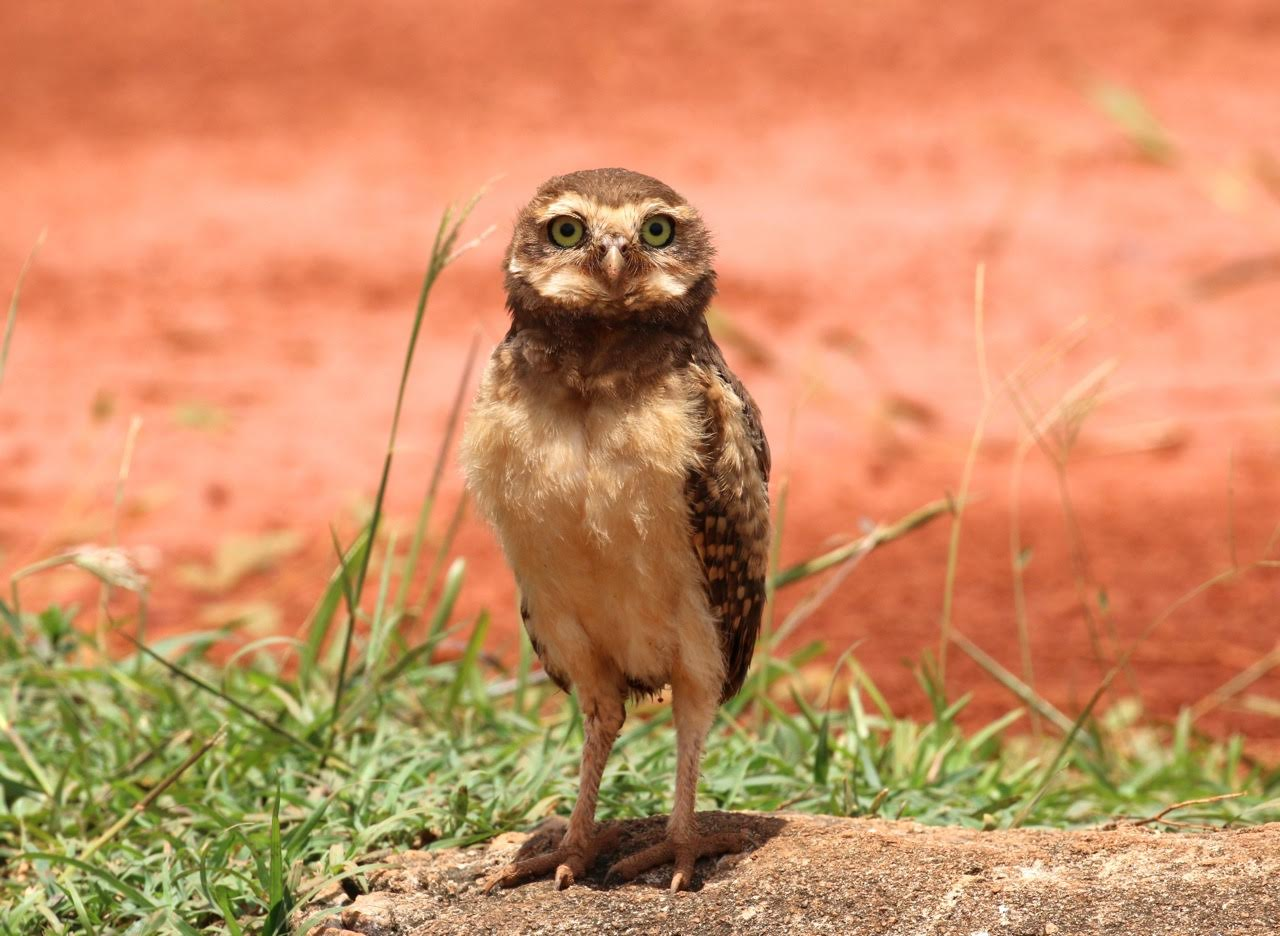 Athene cunicularia, Burrowing Owl,  door Michel Giraud-Audine