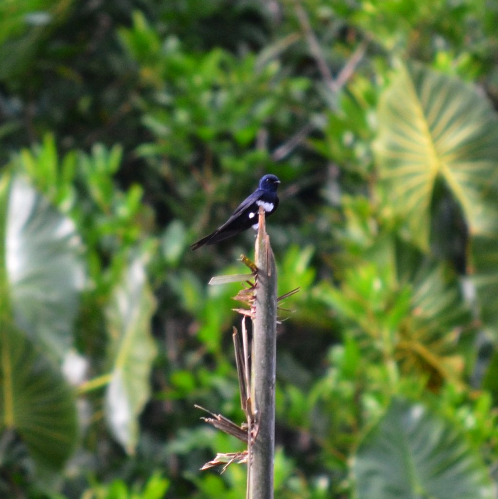 Atticora fasciata, White-banded Swallow,  door Ton Plug