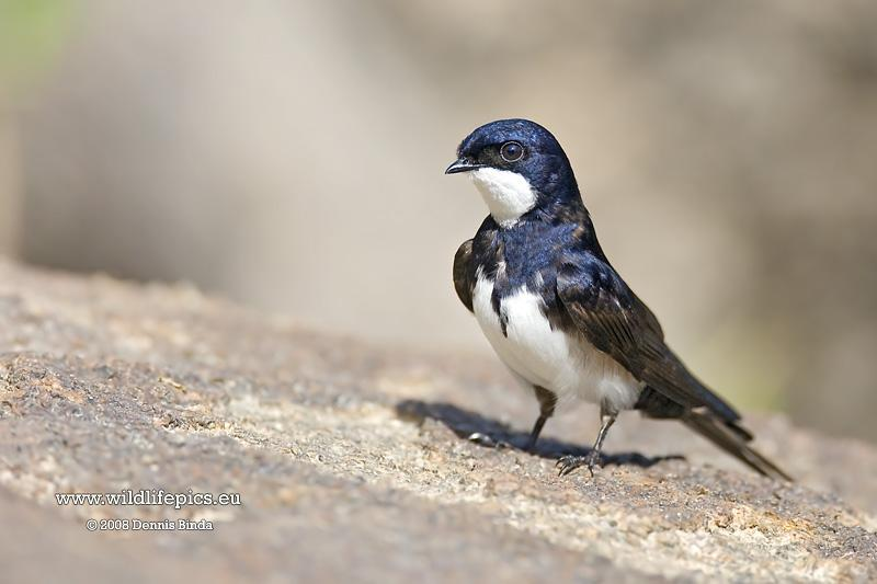 Pygochelidon melanoleuca, Black-collared Swallow, Zwaluw door Dennis Binda