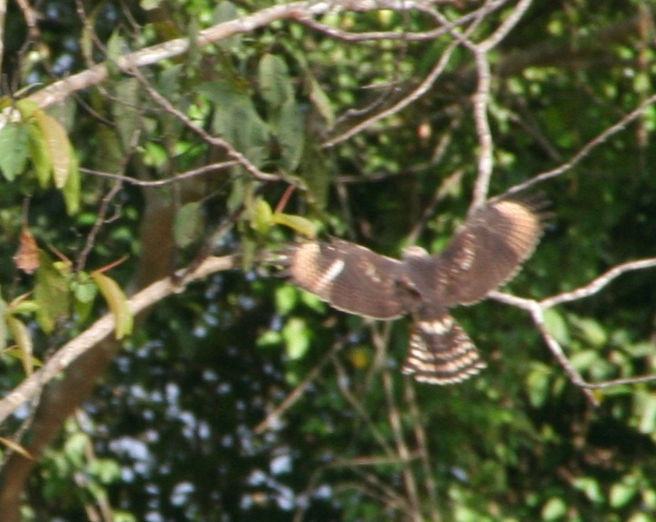 Buteo nitidus, Gray-lined Hawk, Aka door Serano Ramcharan