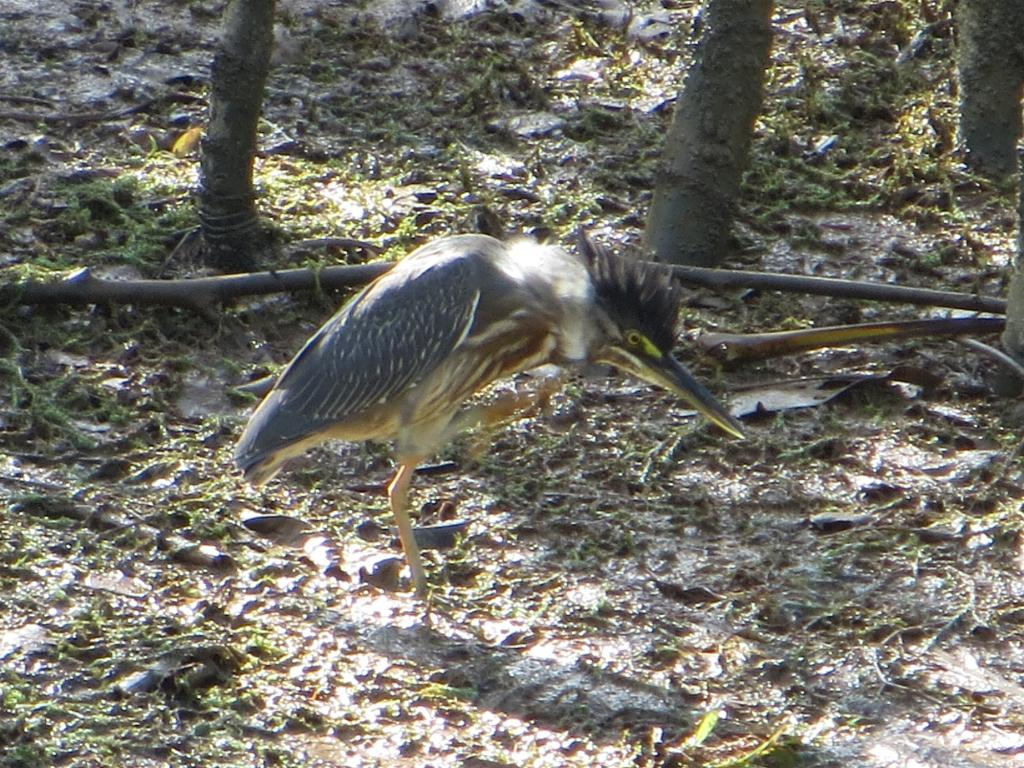 Butorides striata, Striated Heron, Tjontjon door Stephan Ferrier