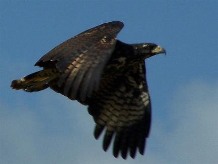 Buteogallus urubitinga, Great Black-Hawk,  door Jan Hein Ribot