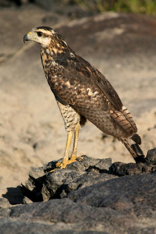 Buteogallus urubitinga, Great Black-Hawk,  door George Hageman