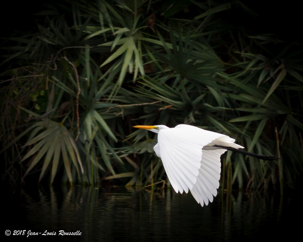 Ardea alba, Great Egret, Galin, Leger door Jean-Louis Rousselle