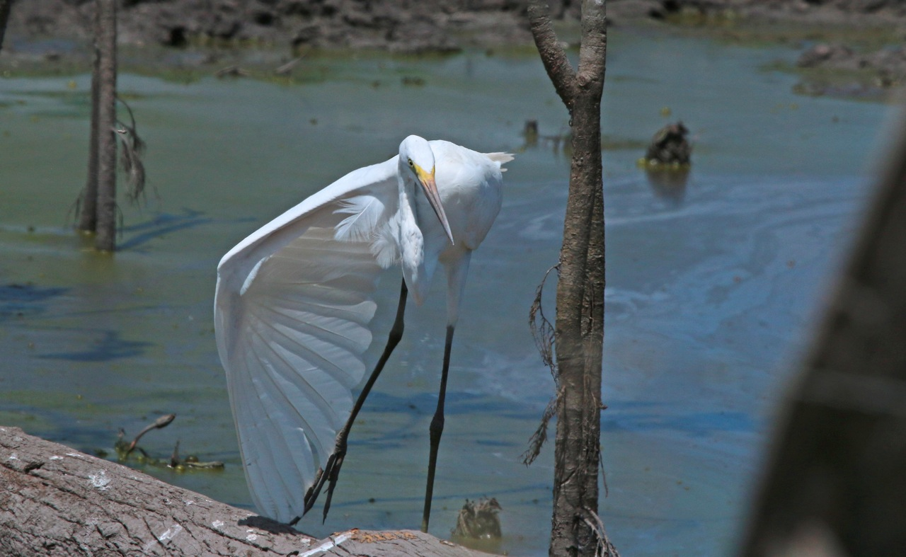 Ardea alba, Great Egret, Galin, Leger door Michel Giraud-Audine