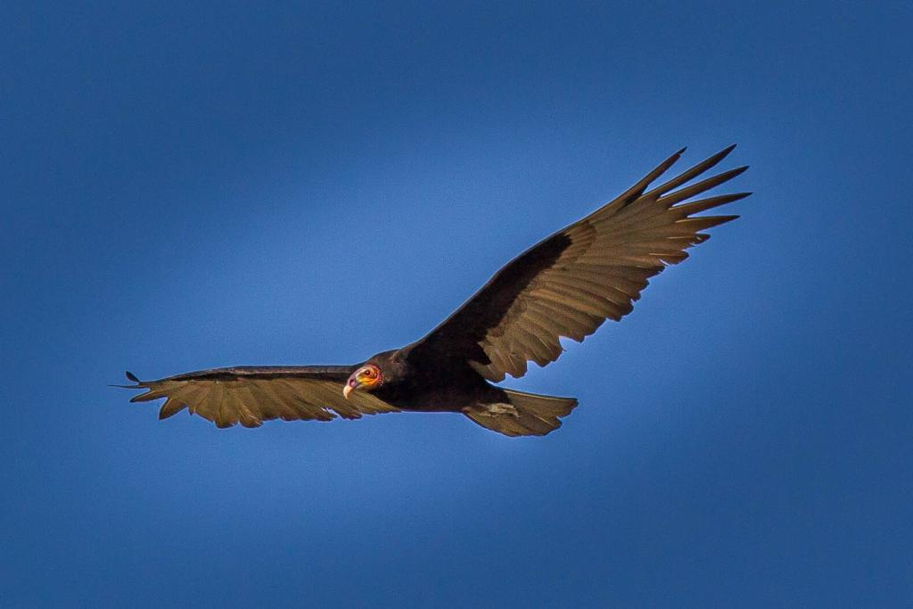 Cathartes burrovianus, Lesser Yellow-headed Vulture,  door Jean-Louis Rousselle