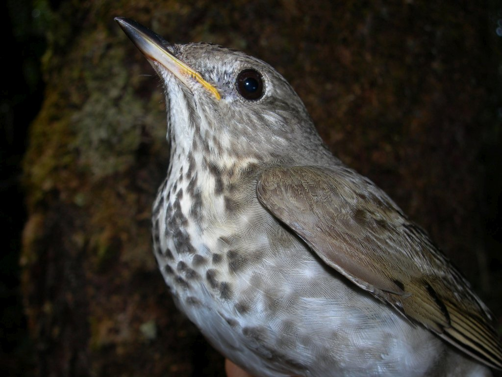 Catharus minimus, Gray-cheeked Thrush,  door Susan Hochgraf