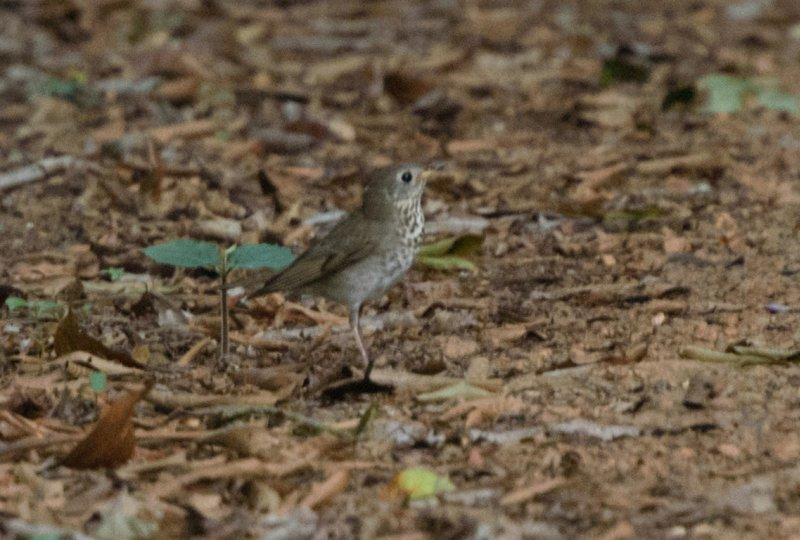 Catharus minimus, Gray-cheeked Thrush,  door Jan Ranson