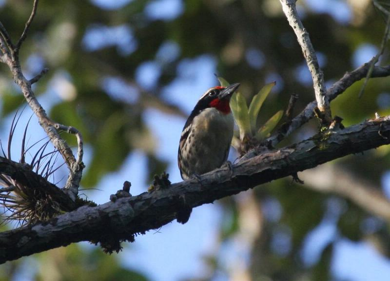 Capito niger, Black-spotted Barbet, Papayafowru door Carl Beel