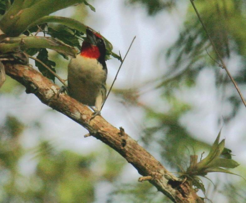 Capito niger, Black-spotted Barbet, Papayafowru door Candy McManiman