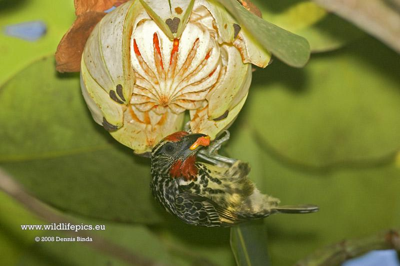 Capito niger, Black-spotted Barbet, Papayafowru door Dennis Binda