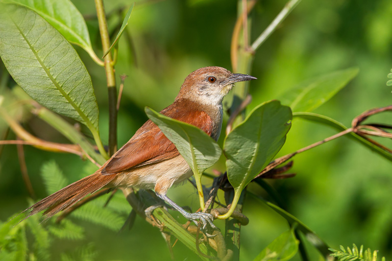 Certhiaxis cinnamomea, Yellow-chinned Spinetail, Fityo door Paul van Giersbergen
