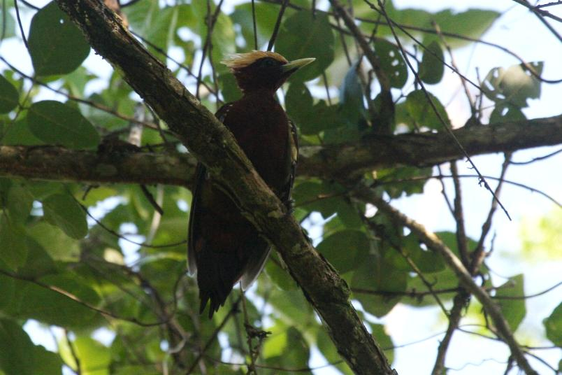 Celeus elegans, Chestnut Woodpecker,  door Carl Beel