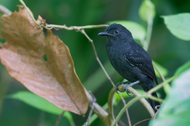 Cercomacroides nigrescens, Blackish Antbird,  door Paul van Giersbergen