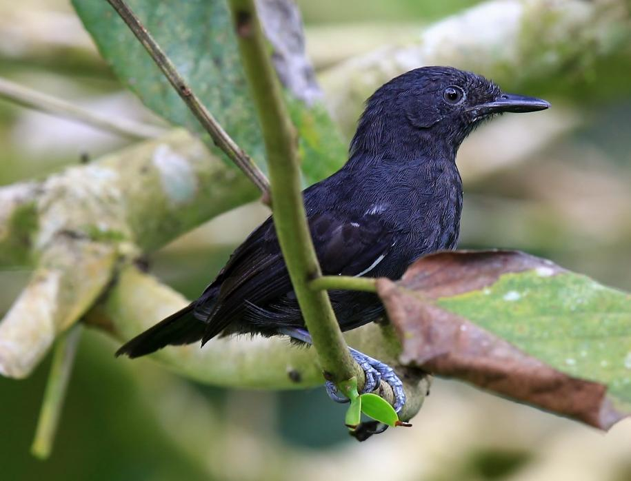 Cercomacroides nigrescens, Blackish Antbird,  door Jean-Louis Rousselle