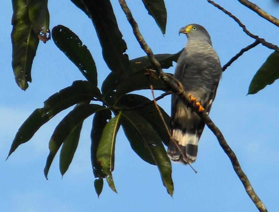 Chondrohierax uncinatus, Hook-billed Kite,  door Judy Nay