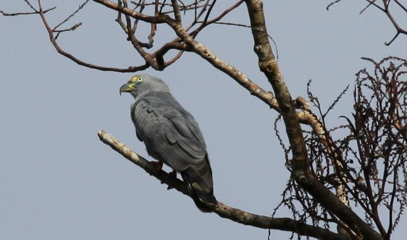 Chondrohierax uncinatus, Hook-billed Kite,  door Carl Beel