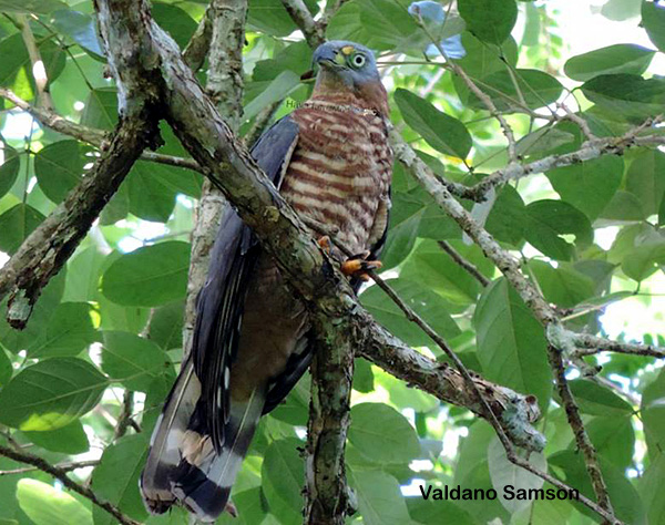 Chondrohierax uncinatus, Hook-billed Kite,  door Valdano Samson