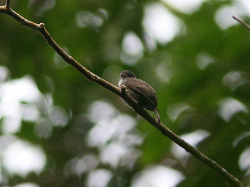 Contopus albogularis, White-throated Pewee,  door Ricardo van Dijk