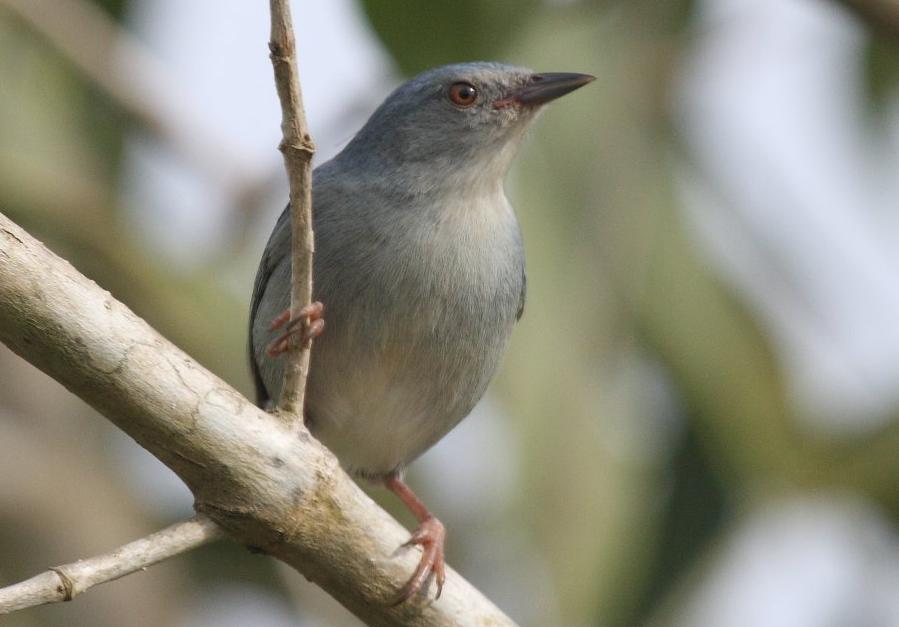 Conirostrum bicolor, Bicolored Conebill,  door Ward Vercruysse