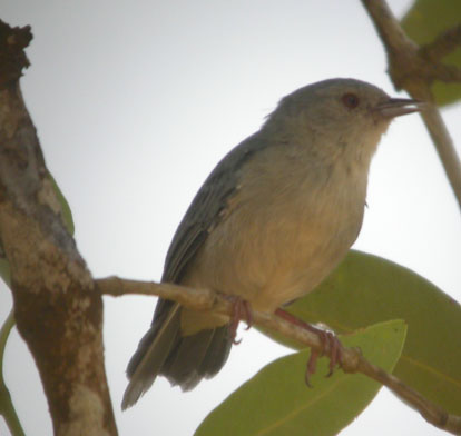 Conirostrum bicolor, Bicolored Conebill,  door Foek Chin Joe