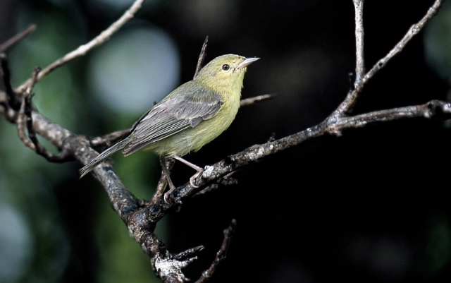 Conirostrum bicolor, Bicolored Conebill,  door Michel Giraud-Audine
