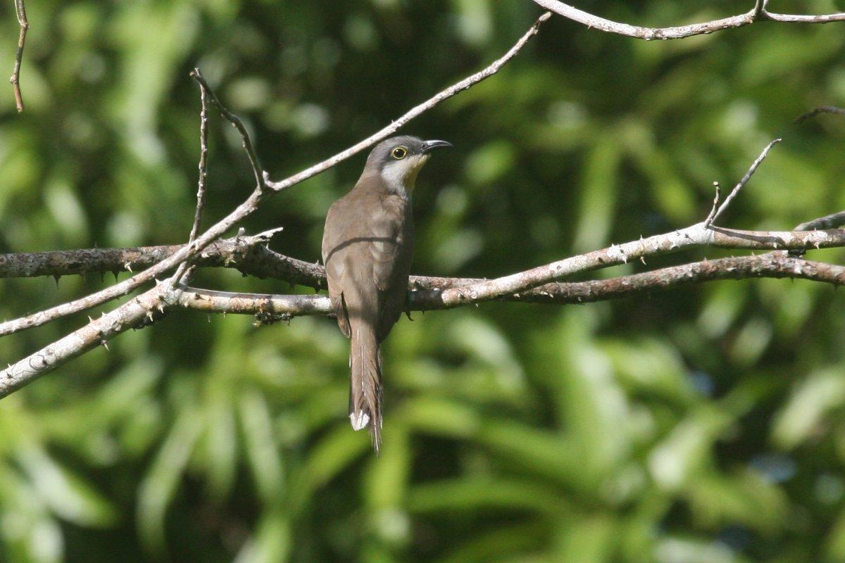Coccyzus melacoryphus, Dark-billed Cuckoo,  door Carl Beel