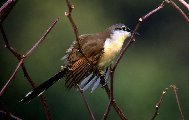 Coccyzus melacoryphus, Dark-billed Cuckoo,  door Michel Giraud-Audine