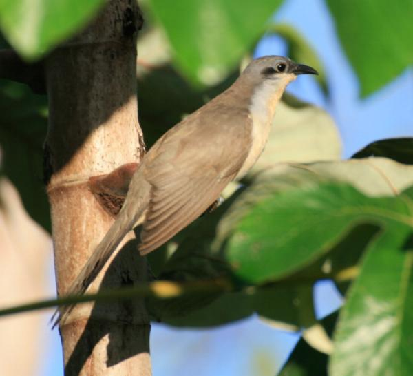 Coccyzus melacoryphus, Dark-billed Cuckoo,  door Suzan van Breenen