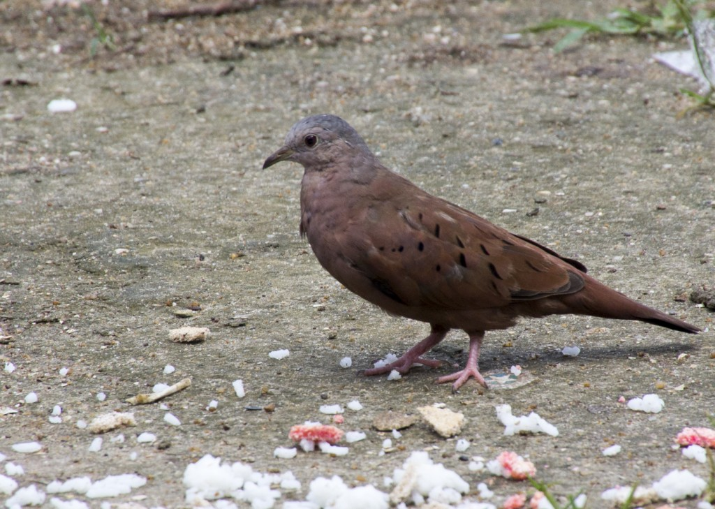 Columbina talpacoti, Ruddy Ground-Dove, Stonka door Frank Valk