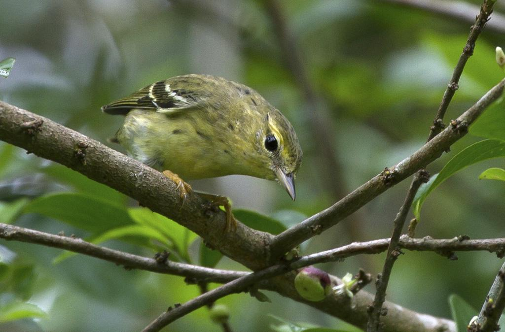 Setophaga striata, Blackpoll Warbler,  door Michel Giraud-Audine