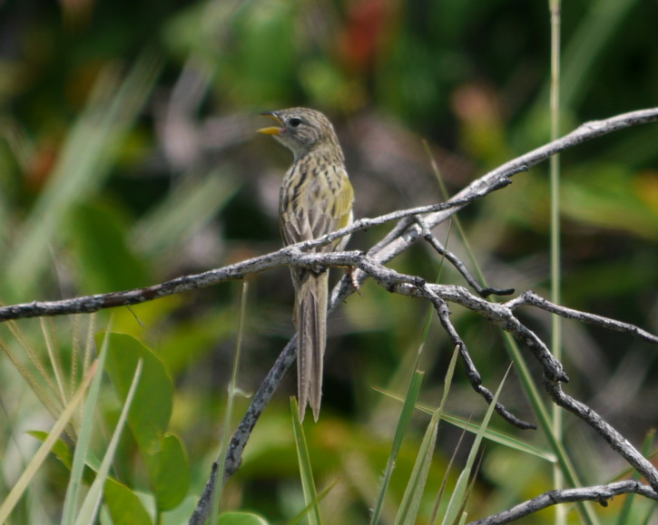 Emberizoides herbicola, Wedge-tailed Grass-Finch,  door Foek Chin Joe