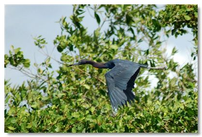 Egretta caerulea, Little Blue Heron, Blaw Sabaku door Carla Out