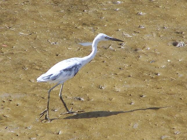 Egretta caerulea, Little Blue Heron, Blaw Sabaku door Jan Hein Ribot