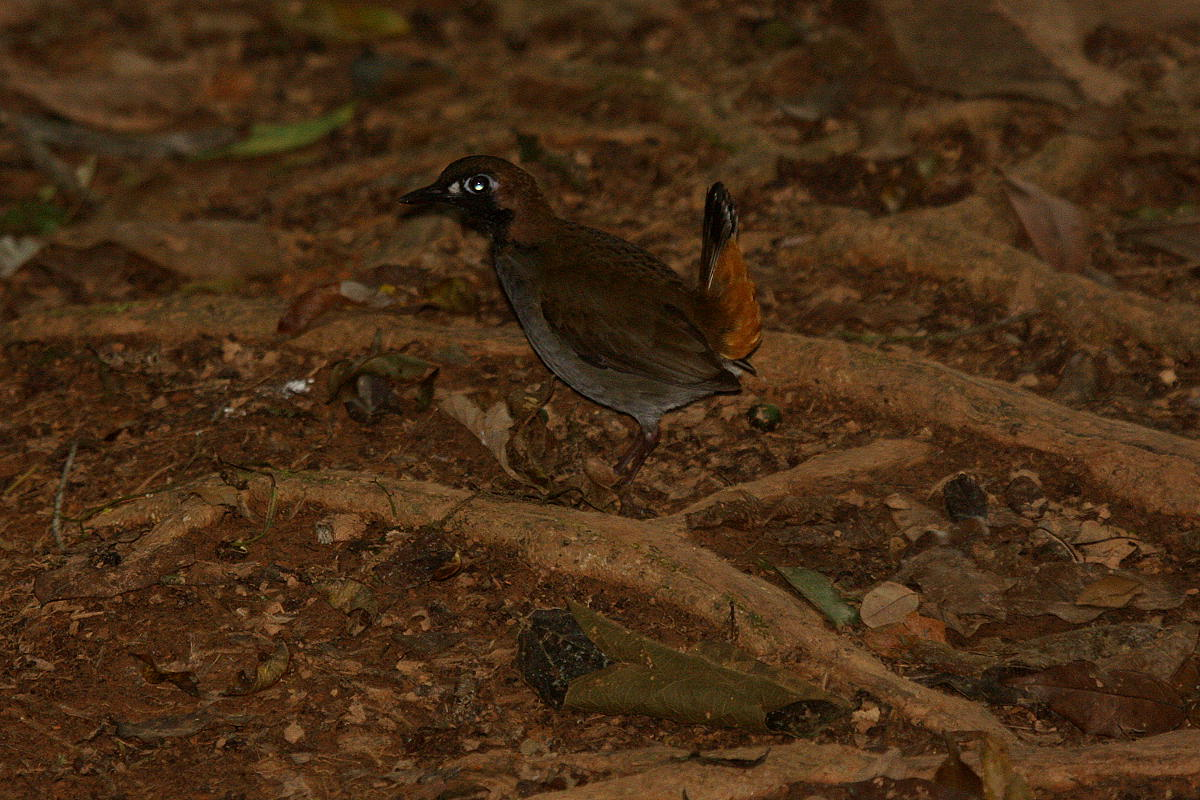 Formicarius analis, Black-faced Antthrush,  door Carl Beel