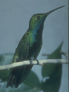 Anthracothorax nigricollis, Black-throated Mango, Korke/Kolibri door John S. Dunning