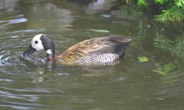 Dendrocygna viduata, White-faced Whistling-Duck, Katunwiswisi/ Wet