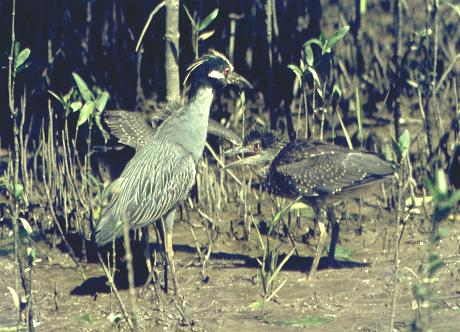 Nyctanassa violacea, Yellow-crowned Night-Heron,  door Arie Spaans