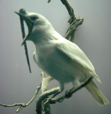 Procnias albus, White Bellbird, Gonge (for the sound) door John S. Dunning