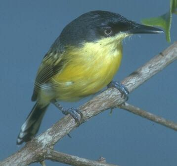 Todirostrum cinereum, Common Tody-Flycatcher, Bakbatitri door John S. Dunning